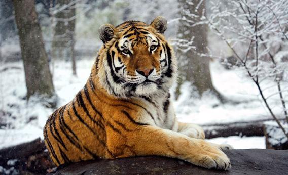 121011_SCI_Tiger.jpg.CROP.rectangle3-large